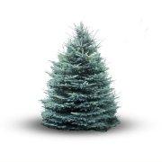 Blauwe Spar (Picea Pungens Glauca)