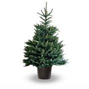 Pot gegroeid Blauw Spar (Picea Pungens Glauca)