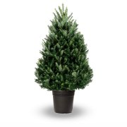 Pot gegroeid Fraser Fir (Abies Fraseri)